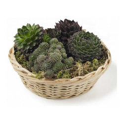 Basket of Succulents - I love succulents for indoor plants. The chicks and hens in this basket will grown over the basket in time with little baby chicks cascading down.