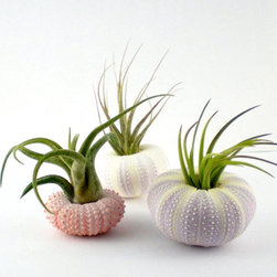 Air Plants in Sea Urchin Shells by Plantzilla - These pastel sea urchins hold a trio of air plants. Display them on open shelves or on a desk.