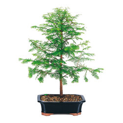 Brussel's Bonsai - Dawn Redwood Bonsai Tree, Medium - When you can't get to the redwoods for a hike, enjoy the beauty of the ancient forests with a miniature potted version. Keep this tiny tree outdoors and water gently so as not to disturb its topsoil. The feather-like branches will add texture and elegance to any patio garden.