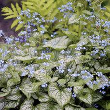 Brunnera macrophylla 'Jack Frost' PP#13,859