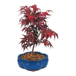 Brussel's Bonsai - Japanese Red Maple  Bonsai Tree - Rich in color, with delicately serrated foliage, this Japanese red maple will enhance your decor. Ah, but there's more! The tree is also a symbol of peace, sure to lend an aura of serenity wherever your place it.