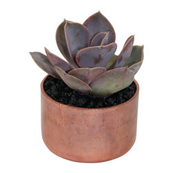 "MODgreen - Echeveria P. - 2"" Copper Potted Cactus and Succulents - This hybrid provides an outstanding purplish color. It is a slow grower but it can spread up to 30 cm with time. The copper pot adds a rustic touch to our trendy and cool design making it a very desired item among our customers. Keep indoors under bright light and water lightly once every two weeks."