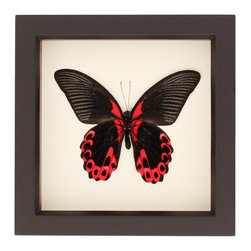 bug under glass - Scarlet Mormon Real Framed Butterfly Display - Real framed butterfly mounted in gallery frame with Tru-Vue UV conservation glass.   The Scarlet Mormon butterfly flies in the forests of Asia and have a bright red color that advertises its toxicity.  Hand crafted in Sonoma Country California by an entomologist using eco-friendly farm raised insects.  Comes with gift box and natural history information about specimen.