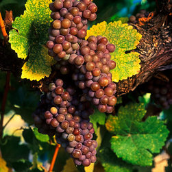 Murals Your Way - Gewurztraminer Wall Art - Fans of the noble grape will enjoy Kirk Irwin's series of grape portraits, such as this one of the Gew?��_rztraminer, a grape variety with a pink to