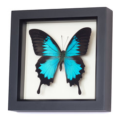 Real Blue Mountain Swallowtail Framed Butterfly
