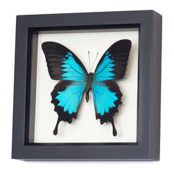 Bug Under Glass - Real Blue Mountain Swallowtail Framed Butterfly - This gorgeous Blue Mountain Swallowtail, commonly called the Ulysses Butterfly, will take on an odyssey of beauty every time you look at it on your wall. As an added feature, enclosed information explains how butterfly farming helps the rainforest.
