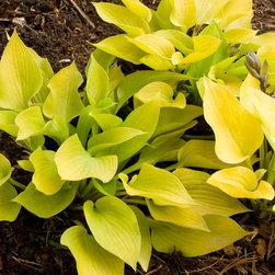 Golden Prayers Plantain Lily - Photo By Doreen Wynja © EyeoftheLady.com