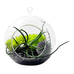 "Bulbosa and Echinops Terrarium - Tillandsias or ""air plants"" are perfect low maintenance plants. They do not require soil to grow and prosper. They simply need bright, indirect light and watering once or twice a week. Allow the tillandsia to fully dry prior to placing it back in it's container."