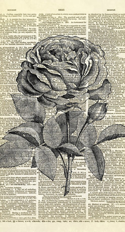 Altered Artichoke - Blooming Rose Dictionary Art Print, Black - A beautiful antique illustration of a blooming rose. So lovely!
