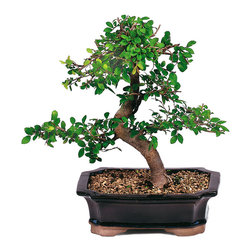 Brussel's Bonsai - Chinese Elm Bonsai Tree - Chinese Elms, imported from Chinese nurseries, are deciduous trees with small leaves and fine twigging on their secondary branches. Chinese Elm trees are durable and while preferring outdoor settings, can be displayed indoors for weeks at a time without ill effects. Thrives outdoors above 20 degrees with protection.