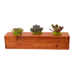"Flora Pacifica - Three Plant Cedar Centerpiece - This spectacular cedar centerpiece is 3.5"" x 3.5"" square and 16"" long.  It has three hardy Echeverias, which are Setosa, Tolimensis and Nodulosa.  The centerpiece will look great in any setting."