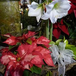 Holiday Arrangements - We put this arrangement together for a client.  We love the how the mottled leaves of the poinsettia complement the white Wedding Dance Amaryllis.  Photo by Charlie Thigpen