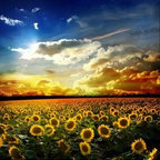"""Limitless Walls - Sunflower Sunset Wall Mural, 48""""x36"""" - All of our wall murals are printed on a 14 mil canvas making it the easiest wallpaper/wall mural product to install on a wall. Not only is it easy to install but it adds a thick layer of protection from the bumps and rubs of everyday life. We add a coating to our wall murals to ensure durability. The wall murals are washable with soap and water. Everything we print is removable and repositionable countless times without damaging the walls nor the paint on the walls. Our products are also GREEN! All of our products are P.V.C. free."""