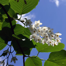 Fragrant snowbell (Styrax obassia)