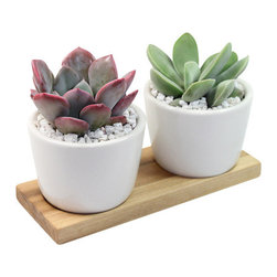 "Graptoveria and Crassula - 7"" Ceramic Duo Potted Cactus and Succulents - Two outstanding succulents have been carefully chosen and planted in the MODgreen Mini ceramic pot which is ideal for these plants and will bring in a big punch of style to any setting.  The mini collection is also great for using as Wedding/Party favors, and will have your guest remembering your event for months to come."