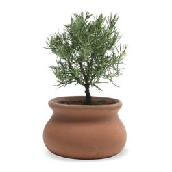"""Viva Terra - Rosemary Plant Topiary - Our miniature rosemary topiary may be small but it thriveswith endless charm. Perfectly giftable and wonderfulfor greening up smaller spaces. 4""""DIAM POT, 9""""H PLANT* 3-day delivery is included. Choose standard shipping at checkout and this item will be upgraded at  no extra charge. Please see special shipping info for details."""