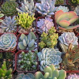 A Collection Of Six Colorful Succulent Plants By Succulents Galore - Start your terrarium off right with a collection of colorful succulent plants.