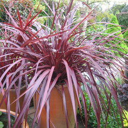 Container Gardening - Festival® 'Burgundy' cordyline in containers. Tesselaar Plants