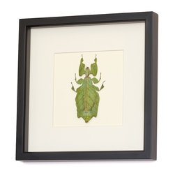 """Bug Under Glass - Real Insect Framed Display - In the natural world, this leaf insect plays a game of """"now you see me, now you don't"""", using camouflage to avoid predators. Now this farm raised fascinating specimen is highlighted by a professional entomological mounting that you can hang on your wall. The engrossing beauty of the Phyllium giganteum that usually goes unseen, is featured brilliantly here."""