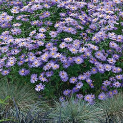 Frikart's Aster - 'Frikart's Aster' (A. x frikartii 'Monch', zones 5 to 10) will keep pumping electric-purple daisy-like blooms all season if you remove the old blooms. Asters have been a garden constant for like ever.