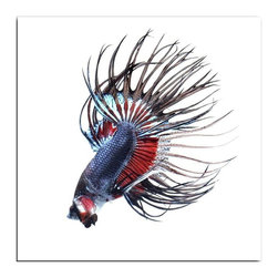 """Siamese Fighting Fish"" Floating Photo Print - Attention grabber! This graphic and colorful photograph by Visarute Angkatavanich is sure to be the focal point of any modern room's decor. 1/4 inch thick museum grade archival acrylic was used to face mount this beautiful floating frame. All materials used are 100% archival museum grade."