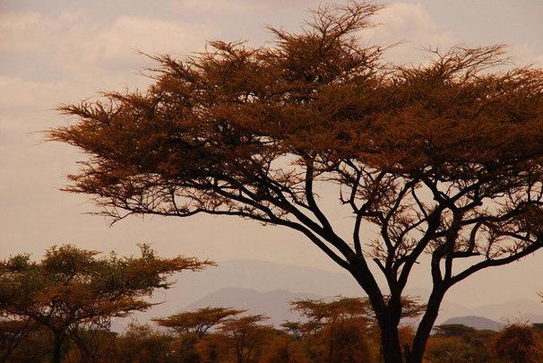 Acacia tree shot in Kenya, July 2007