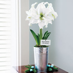 Single Grand Trumpet® Double Ruffle White Amaryllis - The combination of silver and white is stunning in this Amaryllis gift, which is suitable for all the winter holidays. The huge ruffled blooms remain fresh for weeks, glowing above the elegant galvanized metal tin that you'll want to use over and over again. What a wonderful ready-made gift!