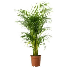 Modern  Areca Palm Tree