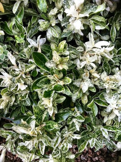 Euonymus Japonica 'Pierrolino' Sense