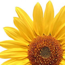 Wallmonkeys Wall Decals - Sunflower over White Wall Decal - 72 Inches W x 48 Inches H - Easy to apply - simply peel and stick!