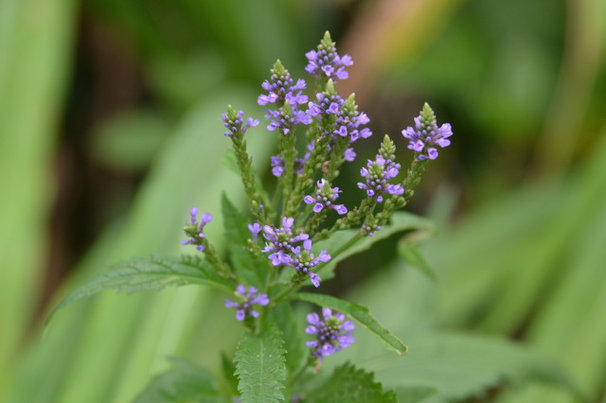 Blue Vervain