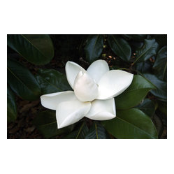Magnolia #1 - Still life is a classic artform that never goes out of style. The elegant magnolia blossom is the perfect addition to any room. Opt for a simple matte and frame and watch how the addition of artwork infuses your home with fresh life.