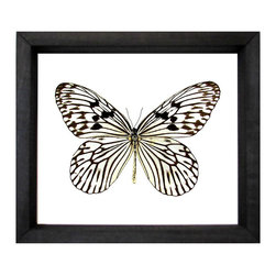 Idea Idea Butterfly - Lacy, exquisite drama in a soft antique ecru makes up the natural glory of the Idea Idea Framed Butterfly, a truly entrancing naturalist's display in a forward-thinking combination of black-painted hardwood and clear glass.  Bringing your wall color into its achromatic composition, the transparent shadowbox artwork features the handsome butterfly specimen on its own merits.