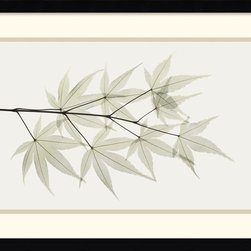 Amanti Art - Japanese Maple Framed Print by Albert Koetsier - Delicate veins of Japanese Maple leaves are exposed to reveal an intricate natural architecture in this x-ray photo by Albert Koetsier.
