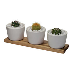 "MODgreen - Notocactus and Echinopsis - 10"" Ceramic Duo Potted Cactus and Succulents - Three beautiful mini cacti have been carefully selected and planted in the MODgreen Mini ceramic pot which is ideal for these plants and will bring in a big punch of style to any setting.  The mini collection is also great for using as Wedding/Party favors, and will have your guest remembering your event for months to come."