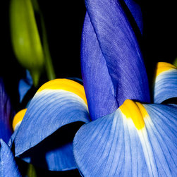 Blue Iris Garden - This opening blue iris stands tall against the dark background and accents of green bulbs.
