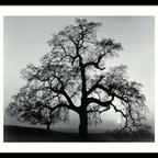 """Amanti Art - """"Oak Tree, Sunset City, California, 1962"""" Framed Print by Ansel Adams - Bring the work of America's premier landscape photographer into your home. The sunset is forever frozen over a majestic oak in this striking Ansel Adams print. The dramatic black and white composition comes beautifully framed and ready to hang. The sun will never set on this image — so be sure to place it somewhere special."""