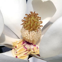 """""""Magnolia #2"""" Artwork - Take a peek inside a magnolia blossom and adorn your wall in botanical beauty with this up close photograph. This falling-open flower portrait comes printed on archival rag paper and signed by the photographer, Thurston Howes."""