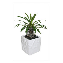 "MODgreen - Pachypodium l. - 4"" Ceramic Potted Cactus and Succulents - This palm-like P. lamerei is native from the Island of Madagascar; no wonder why its common name is 'The Madagascar Plant'. Water once a month and place under bright light. With this design MODgreen has put a new twist to the standard ceramic cube planter by giving them a corrugated texture that make these beautiful pots stand out above the rest."
