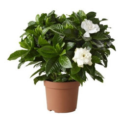 Gardenia Jasminoides Potted Plant - Potted plant, Scented gardenia