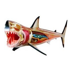 """Great White Shark Anatomy Kit - A 13 """" long model contains 20 detachable organs and body parts and display stand. Fine detailed sculpting with hand painted parts. Collect the series - great gifts for education or future marine biologist. Ages 8+."""