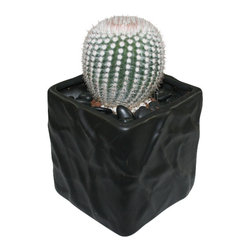 "MODgreen - Notocactus s. - 4"" Ceramic Potted Cactus and Succulents - N. scopa is native to the Southern countries of South America and it is commonly known as 'Silver Ball Cactus'. Water once a month and place under bright light. With this design MODgreen has put a new twist to the standard ceramic cube planter by giving them a corrugated texture that make these beautiful pots stand out above the rest."