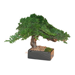 Preserved Monterey Bonsai Square Pot - Presenting our original branded single Preserved Monterey Bonsai. We have been hand crafting these wonderful Monterey Bonsai for many years. Each is truly a peaceful work of art ready to enhance any decor.