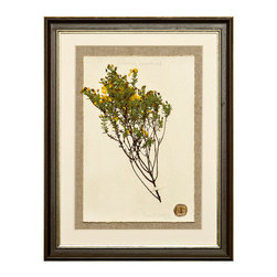 Botanicals Flowers D - Small Yellow Flower - Framed - A stunning framed display of a flattened botanical specimen with many different options available to suit your mood or d�cor. Each specimen is one of a kind and no two will be alike. For those who desire uniqueness in their wall hangings, the Botanicals Collection can be placed in a room alone or with many clustered together for wonderful way to bring your love of nature indoors.