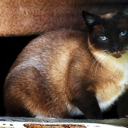 Create your style - This beautiful seal point Siamese cat was one of the animals I saw while volunteering my photography services to the shelter,in order for them to make calendars to sell