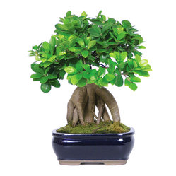 Brussel's Bonsai - Ginseng Grafted Ficus Bonsai Tree - The grafted combination of ginseng and ficus creates a powerful bonsai that embodies strength and is a great statement for an office or home. Vibrant and shiny leaves cluster above thick roots to create visual interest for even the novice gardener. They do well indoors and make a perfect gift for friends or colleagues.