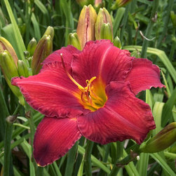 Chicago Apache Daylily - Photo By Doreen Wynja © EyeoftheLady.com