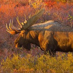 Magic Murals - Moose Bull Wallpaper Wall Mural - Self-Adhesive - Multiple Sizes - Magic Murals - Moose Bull Wall Mural