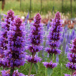 Agastache Blue Boa - Native to the southern United States and Mexico, drought-resistant Agastache or hyssop not only survives on rooftops during your weekend getaway, but also provides fragrant blooms all summer long.