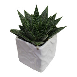 "MODgreen - Gasteria 'Flow'. - 4"" Ceramic Potted Cactus and Succulents - Native to South Africa this gasteria is a hybrid which provides a nice rosette shape to complement any interior design. Water once a month and place under bright light. With this design MODgreen has put a new twist to the standard ceramic cube planter by giving them a corrugated texture that make these beautiful pots stand out above the rest."